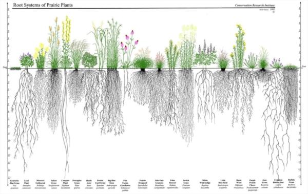 Variatie in diepte en breedte van plantenwortels