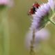 Vlinder op beemdkroon