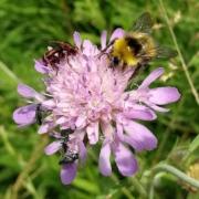 roze bloem-beemdkroon-hommel-insecten