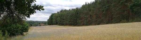 bomen-graan=lucht-korenbloemen