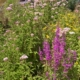 B113 Mengsels van bloemrijke ruigten en struwelen