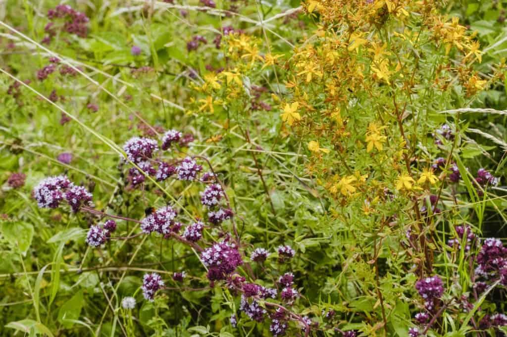 B104 Walstro Wilde Peenmengsel inheemse wilde planten Biodivers Oudewater