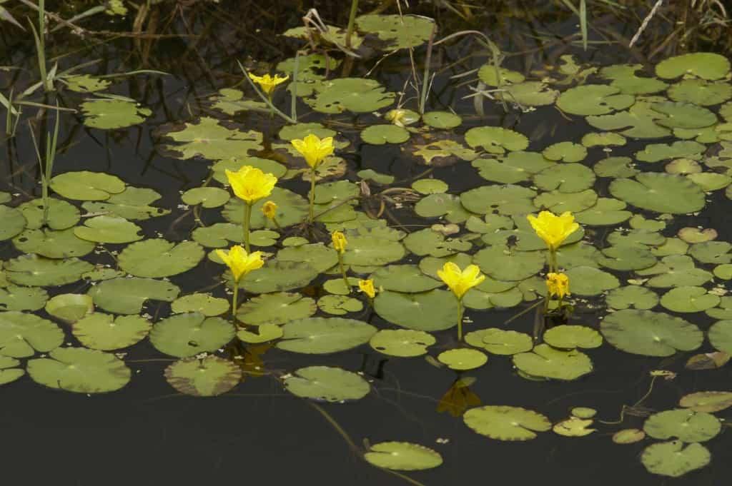 B112-WaterplantenmengselBiodivers-inheemse-wilde-plantenzaden-Oudewater