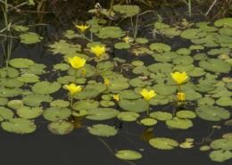 B112 Waterplantenmengsel
