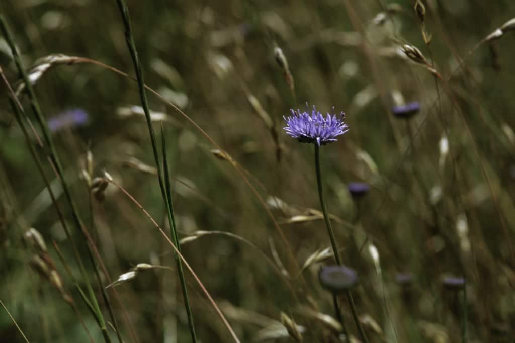 B101 Zandblauwtjesmengsel inheemse wilde planten Biiodivers Oudewater