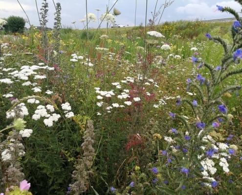 Inheems zadenmengsel met o.a. Slangenkruid, Wilde Peen, Duizendblad; Biodivers Oudewater